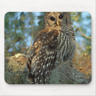 Barred Owl roosting in some Spanish Moss Mouse Mat