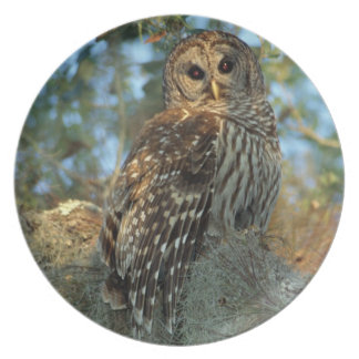 Barred Owl roosting in some Spanish Moss Plate