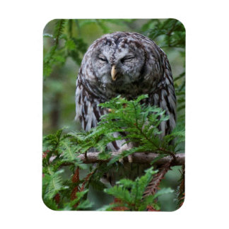 Barred Owl Scratching Magnet