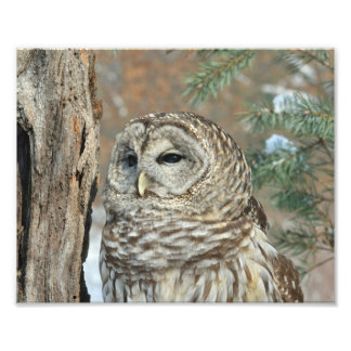 Barred Owl Sitting in Snowy Tree Print Photograph