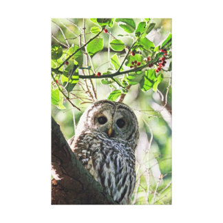 Barred Owl Staring Gallery Wrap Canvas
