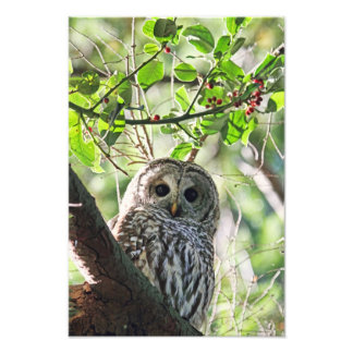 Barred Owl Staring Photograph