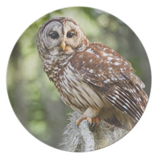 Barred Owl (Strix varia), adult in old growth Party Plate