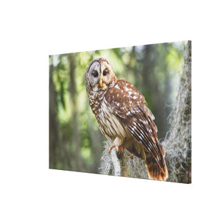 Barred Owl (Strix varia), adult in old growth Stretched Canvas Print