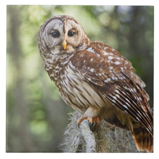 Barred Owl (Strix varia), adult in old growth Tile