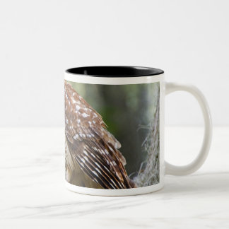 Barred Owl (Strix varia), adult in old growth Two-Tone Coffee Mug