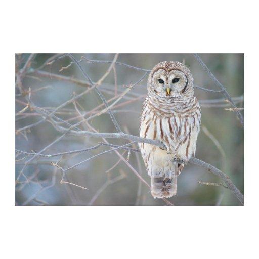 Barred Owl Strix Varia Canvas Prints