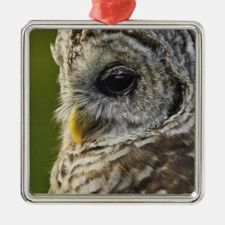 Barred Owl, Strix varia, Michigan Christmas Ornament