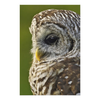 Barred Owl, Strix varia, Michigan Photo Print