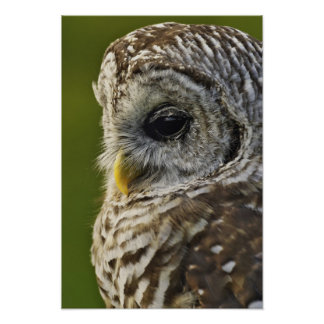Barred Owl, Strix varia, Michigan Poster