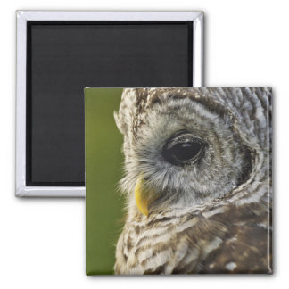Barred Owl, Strix varia, Michigan Square Magnet