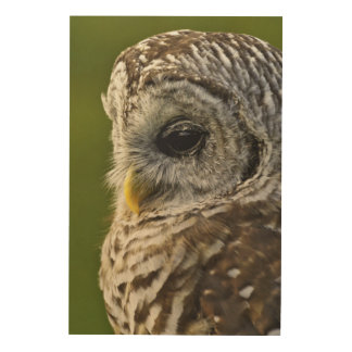 Barred Owl, Strix varia, Michigan Wood Print