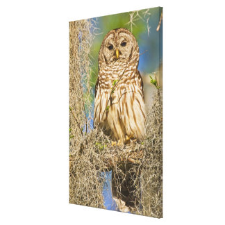 Barred Owl (Strix varia) perched in cypress tree Canvas Print
