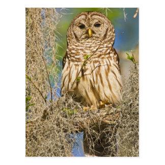 Barred Owl (Strix varia) perched in cypress tree Postcard