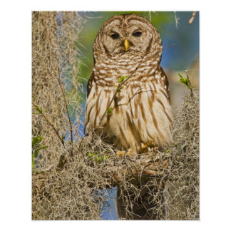 Barred Owl (Strix varia) perched in cypress tree Poster