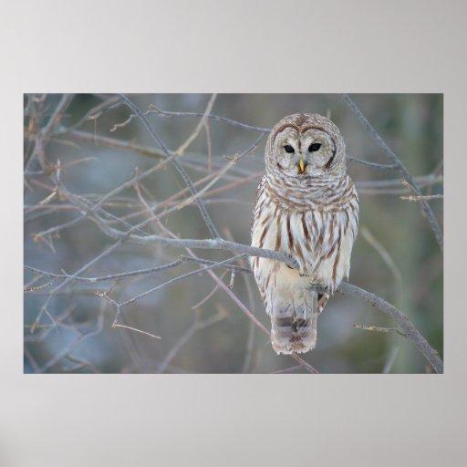 Barred Owl Strix Varia Print