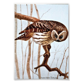 Barred Owl Vintage Wildlife Illustration Photograph