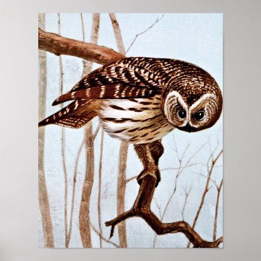 Barred Owl Vintage Wildlife Illustration Print