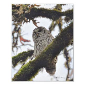 Barred Owl Winking Photo Print