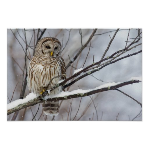 Barred Owl with a light snowfall Posters