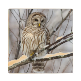 Barred Owl with a light snowfall Wood Coaster