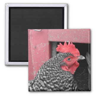 Barred Rock Chicken Square Magnet