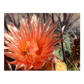 Barrel Cactus Postcard
