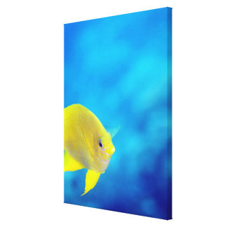 Bartlett's anthias canvas print