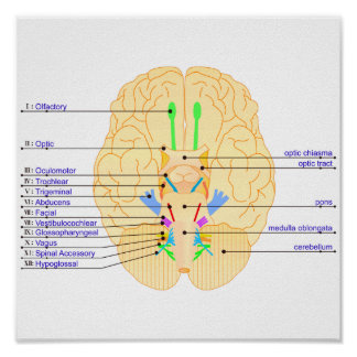 base of brain picture english poster