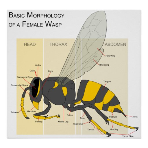 Basic Morphology of a Female Wasp Diagram Poster
