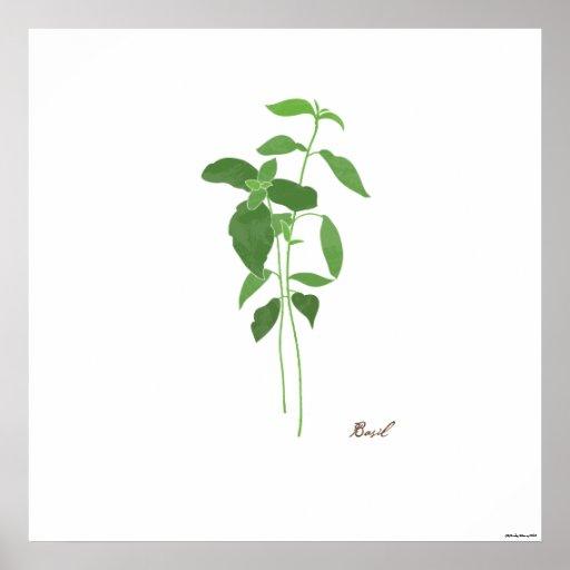 Basil Stem Illustration    Herb Botanical Print