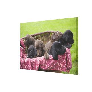 Basket of labrador retriever puppies canvas print