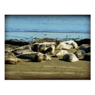 Basking Seals Post Card