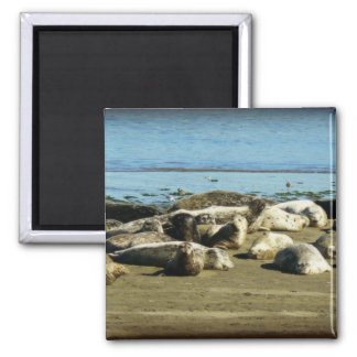 Basking Seals Square Magnet