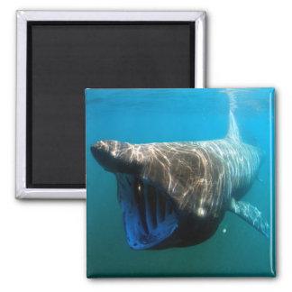 Basking shark fridge magnet