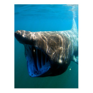 Basking shark postcard