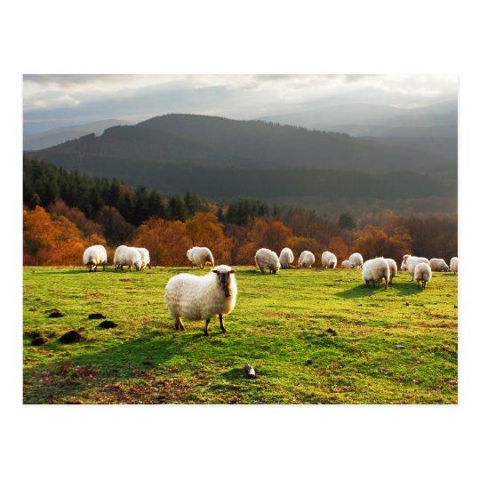 basque country latxa sheep postcard