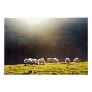 basque sheep photo print
