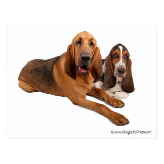 Basset and Bloodhound Buddies Postcard