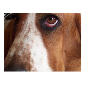 Basset Hound Dog Postcard
