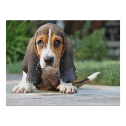 Basset Hound Puppy Poster