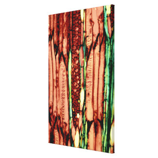 Basswood Vascular Tissue Structure Canvas Print