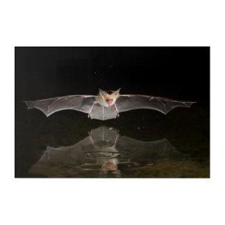 Bat drinking in flight, Arizona Acrylic Wall Art