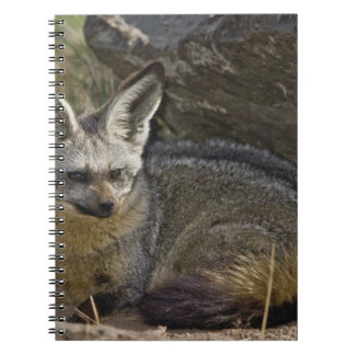 Bat-eared Fox, Otocyon megalotis, Masai Mara Notebook