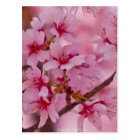Bathed in Pink Japanese Cherry Blossoms Postcard