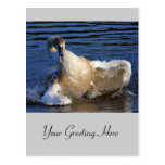 Bathing Cygnet Post Cards