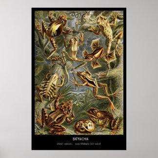 Batrachia – Plate 68 - Kunstformen der Natur Print