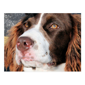 Baxter - English Springer Spaniel Photo-06 Postcard