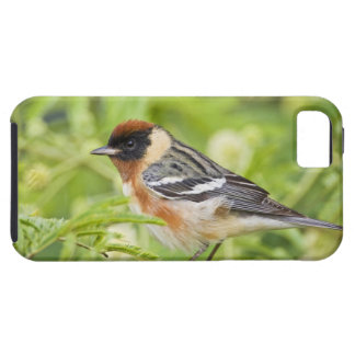 Bay-breasted Warbler (Dendroica castanea) adult iPhone 5 Covers