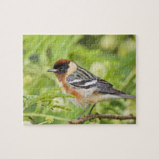 Bay-breasted Warbler (Dendroica castanea) adult Jigsaw Puzzle